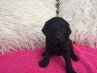 Labradoodle-Poodle (Standard) Mix Puppy For Sale in MILLERSBURG, OH, USA