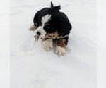 Small #11 Bernese Mountain Dog