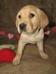 Labrador Retriever Puppy For Sale in UNIONVILLE, MO