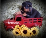 Image preview for Ad Listing. Nickname: Female puppies
