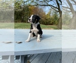 Small #2 Collie