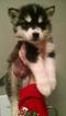 Alaskan Husky Puppy For Sale in VIRGINIA BEACH, VA, USA
