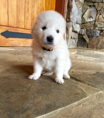 Maremma Sheepdog Puppies for Sale