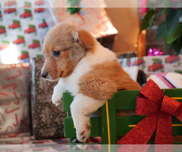 Medium Photo #2 Pembroke Welsh Corgi Puppy For Sale in SPRINGFIELD, MO, USA