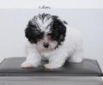 Puppy 2 Havanese