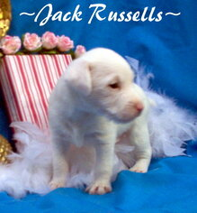 Jack Russell Terrier Puppy For Sale in FOYIL, OK, USA