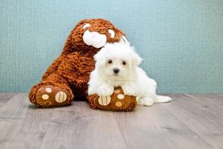 View Ad Maltese Puppy For Sale Texas Waxahachie Usa