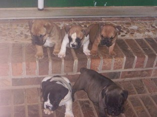Olde English Bulldogge Puppy For Sale in LANGSTON, AL, USA