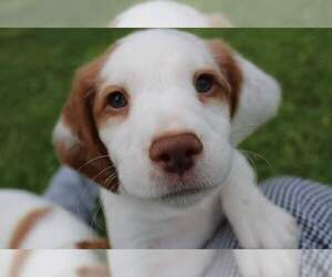 Brittany Puppy for sale in HARMONY, PA, USA
