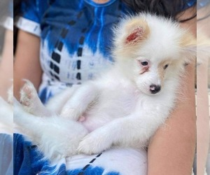 Father of the Miniature Spitz puppies born on 02/15/2021