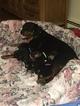Rottweiler Puppy For Sale in DOWAGIAC, MI, USA