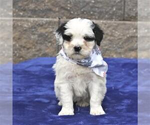 Bernedoodle-Poodle (Miniature) Mix Dog for Adoption in EAST EARL, Pennsylvania USA