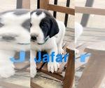 Puppy 6 Great Pyredane