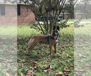 Belgian Malinois Puppy for sale in NEWBERRY, SC, USA