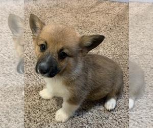 Pembroke Welsh Corgi Puppy for sale in HOWARD, OH, USA