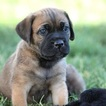 Cane Corso Puppy For Sale in SANTA MARGARITA, CA, USA