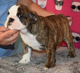 Bulldog Puppy For Sale in NORTH LIBERTY, IN, USA