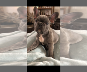 French Bulldog Puppy for sale in STAR CITY, AR, USA