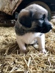 Small #4 Anatolian Shepherd-Great Pyrenees Mix