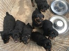 Rottweiler Puppy For Sale in CHICO, CA