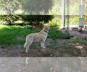 Mother of the Golden Retriever puppies born on 06/01/2019