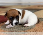 Puppy 8 Jack Russell Terrier
