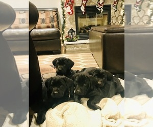 Golden Labrador Puppy for Sale in FLOYD, Virginia USA