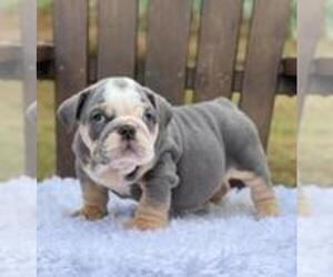 Bulldog Puppy for sale in DALLAS, TX, USA