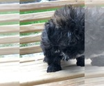 Small #7 Maltese-Poodle (Toy) Mix