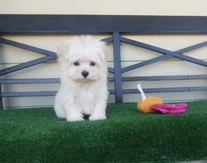 Medium Maltese