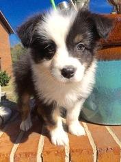 Australian Shepherd Puppy For Sale in ALTON, IL