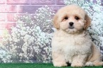 Small #3 Lhasa-Poo