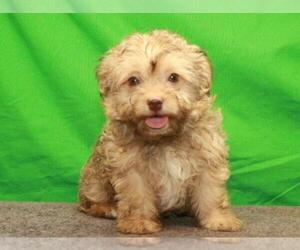 Havanese Puppy for Sale in SHAWNEE, Oklahoma USA