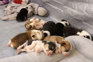 Pembroke Welsh Corgi Puppy for sale in HOUSTON, TX, USA
