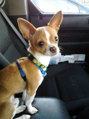 Chihuahua Puppy For Sale in SALEM, OR, USA