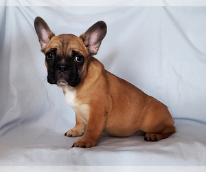 French Bulldog Puppy for Sale in ADRIAN, Michigan USA
