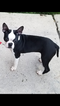 Boston Terrier Puppy For Sale in PHILADELPHIA, PA
