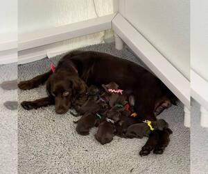 Boykin Spaniel Dog for Adoption in THOMASVILLE, Georgia USA