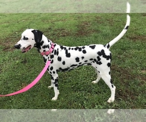 Mother of the Dalmatian puppies born on 08/12/2019