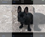Small Photo #10 French Bulldog Puppy For Sale in EL PASO, TX, USA