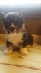 Pembroke Welsh Corgi Puppy For Sale in NICHOLASVILLE, KY