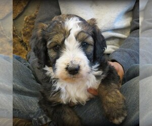 Bernedoodle Puppy for sale in CANON CITY, CO, USA