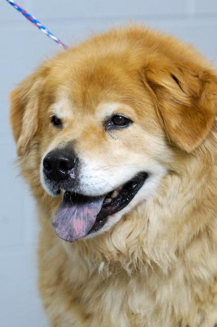 View Ad: Chow Chow Dog for Adoption, Tennessee, Johnson City