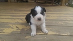 Australian Shepherd Puppy For Sale in HIGH POINT, NC