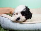 Shih-Poo Puppy For Sale in LA MIRADA, CA, USA