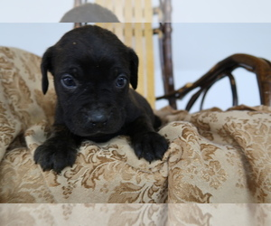 Cane Corso Puppy for sale in DAYTON, OH, USA