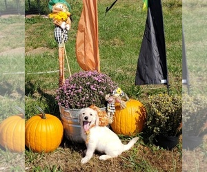 Labradoodle Puppy for Sale in ADRIAN, Missouri USA