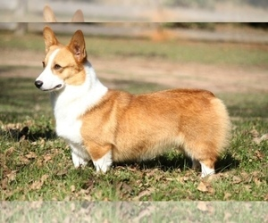 Mother of the Pembroke Welsh Corgi puppies born on 04/07/2020