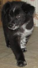 Australian Shepherd Puppy For Sale in LYNCHBURG, VA