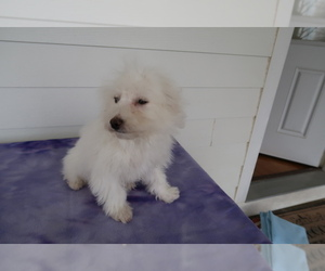 Bichon Frise Puppy for sale in OTTAWA HILLS, OH, USA